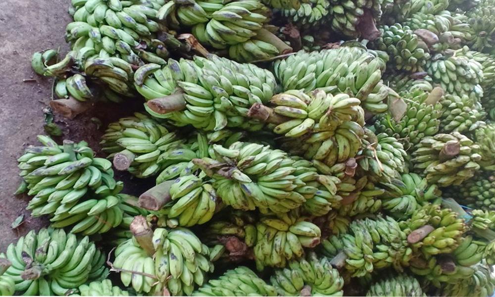 Thu mua chuối rừng từ đồng bào