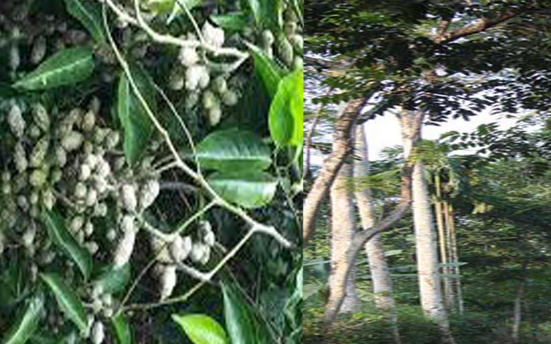 Giống cây cho hạt dổi rừng nếp