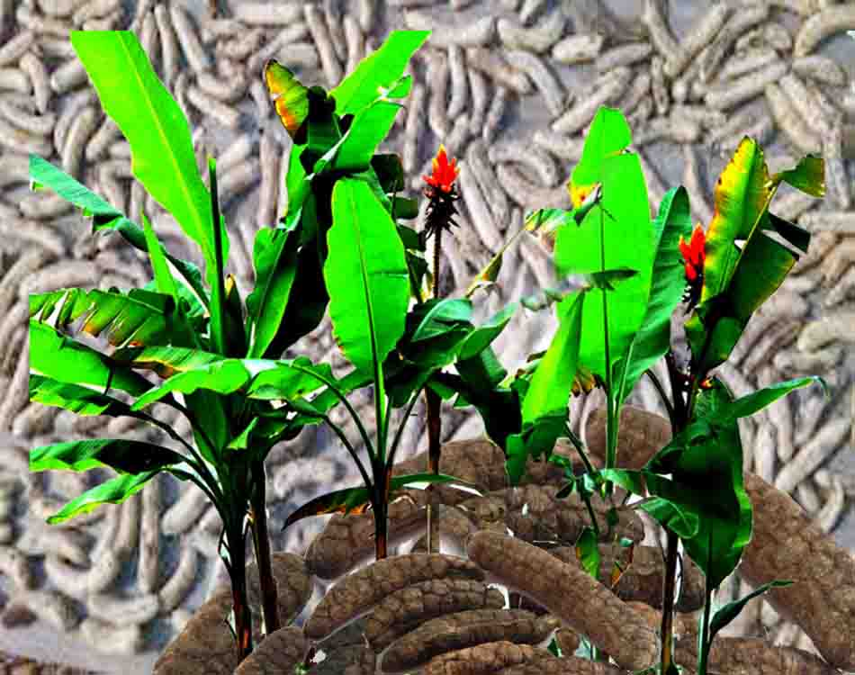 Cây chuối hột rừng dược liệu ừng xanhr