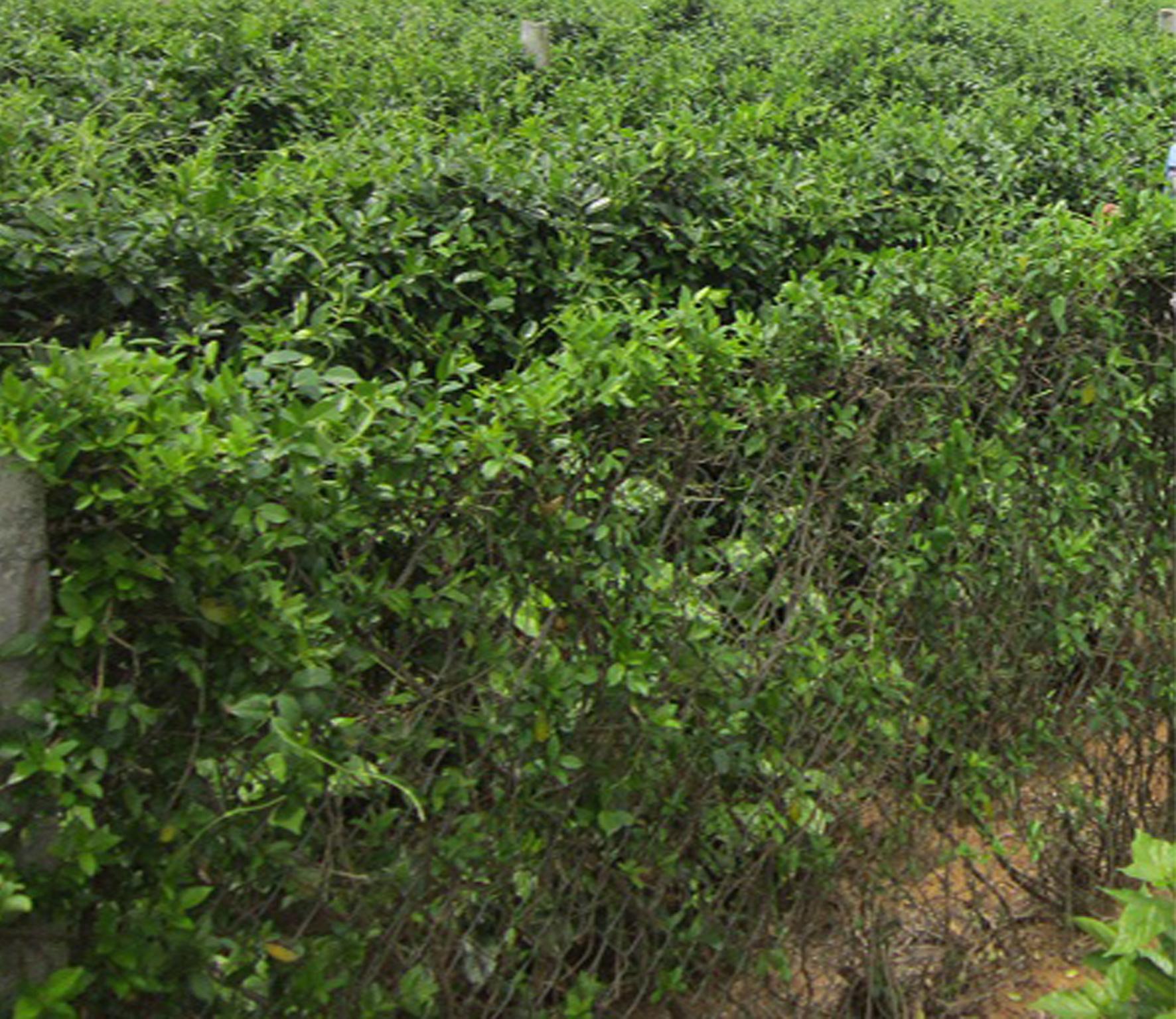 Vườn dây thìa canh Nam Định tiêu chuẩn GACP
